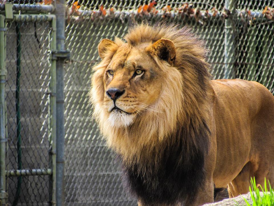 Lion, Zoo, Zoo Animals, Mane, King, Leo, Head, Male