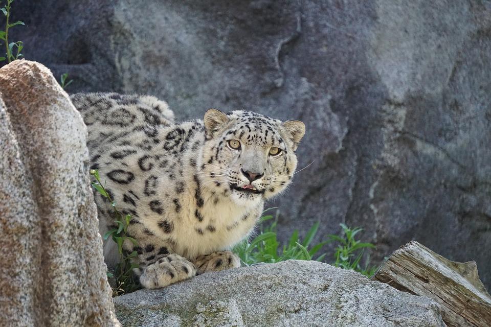 Snow Leopard, Zoo, Dangerous, Predator, Leopard, Animal