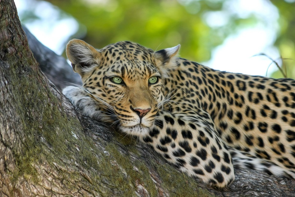 Leopard, Wildcat, Big Cat, Botswana, Africa, Safari