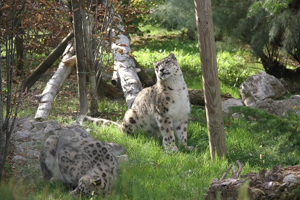 Leopard, Animal, Mammal, Feline, Predator, Wildlife