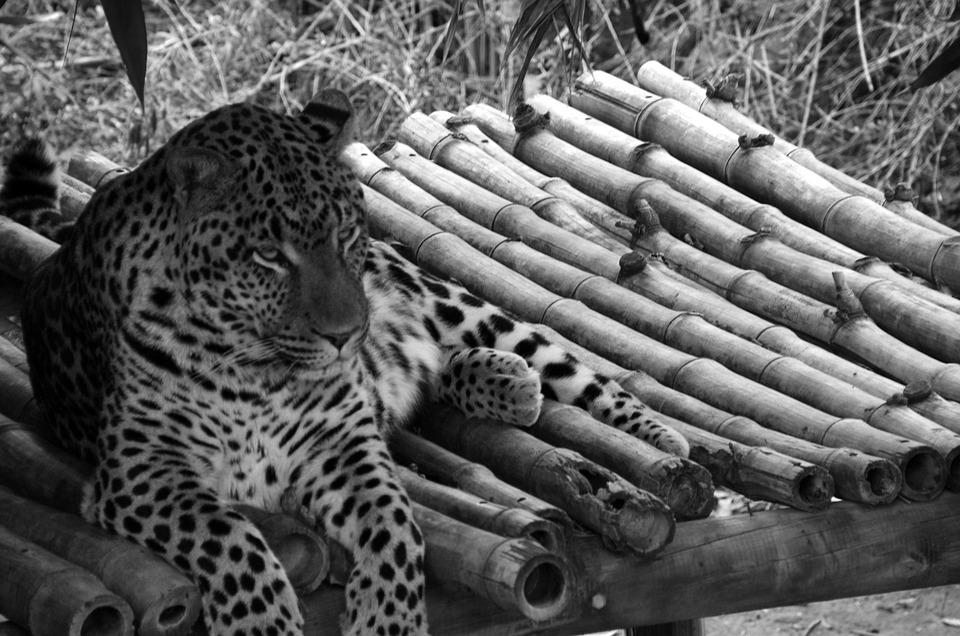 Leopard, Black White Recording, Full Length Portrait