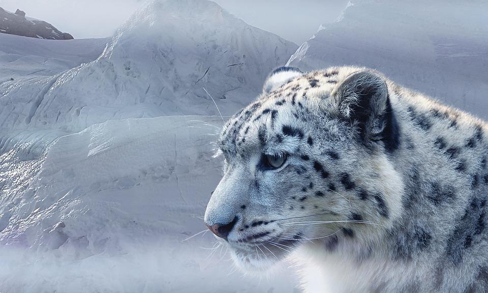 Snow Leopard, Leopard, Snow, Ice, Glacier, Mountains