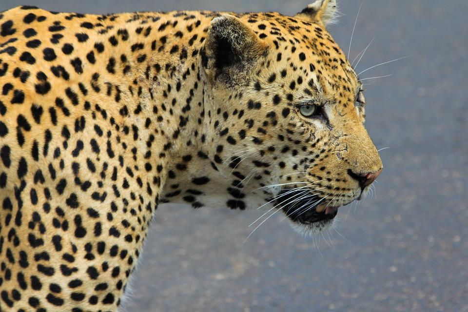 Leopard, South Africa, Wild Animals, Animal, Wild