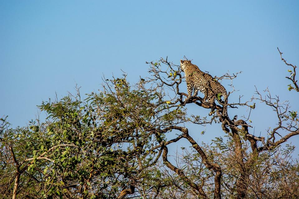 Leopard, Tiger, Wildlife, Travel, Wild Animal, India