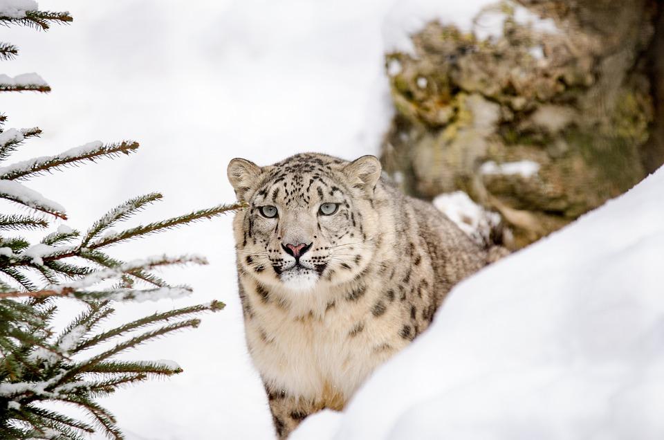 Snow Leopard, Leopard, Big Cat, Snow, Winter, Zoo