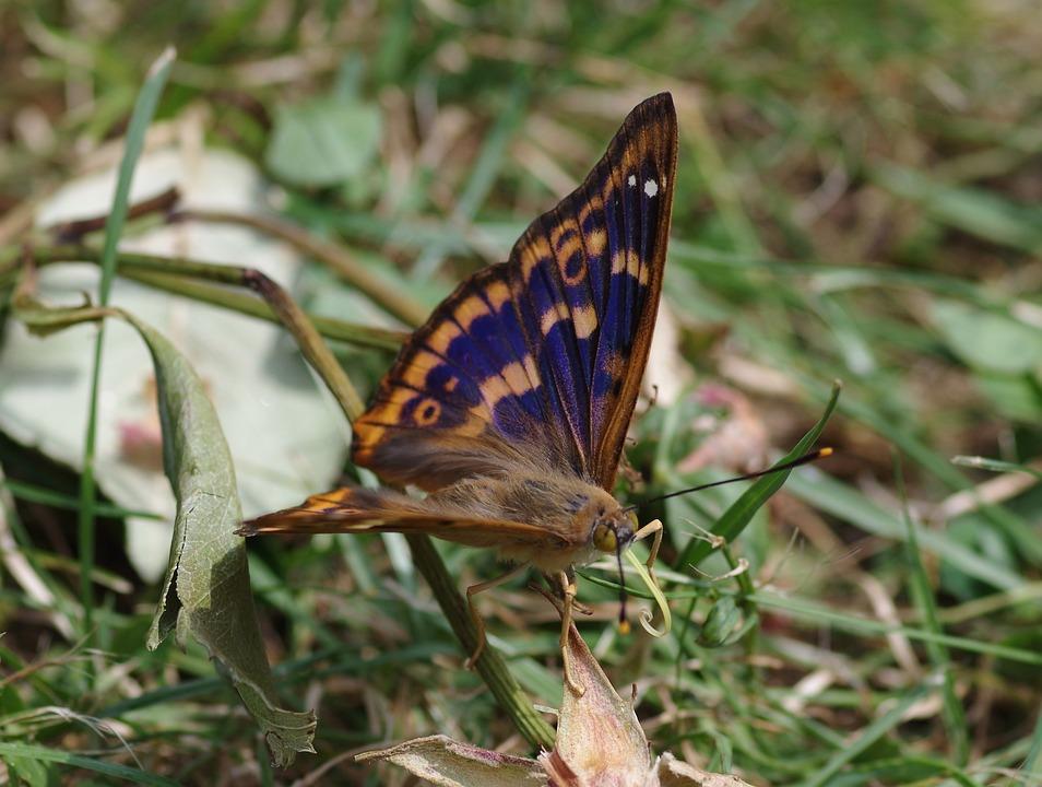 Purple Emperor, Butterfly, Lesser Purple Emperor