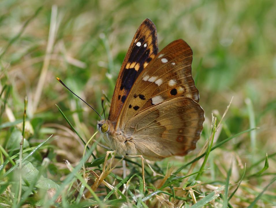 Butterfly, Lesser Purple Emperor, Summer, Garden