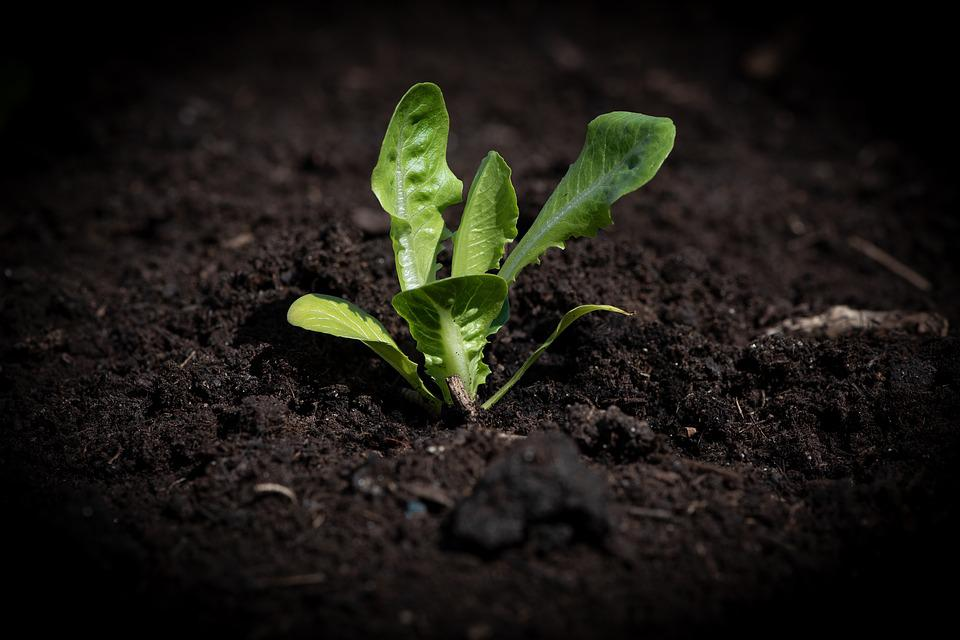 Lettuce Seedling, Garden, Vegetable Garden, Green