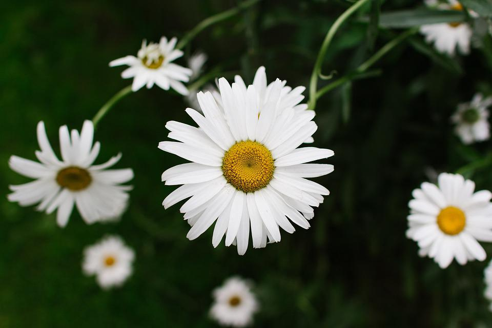 Leucanthemum, Daisy, Flower, Daisy Garden, Bloom, Petal