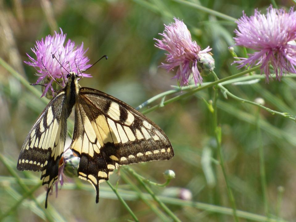 Machaon, Papilio Machaon, Butterfly Queen, Libar