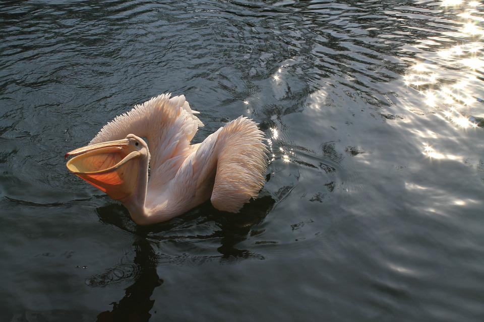 Pelican, Zoo, Liberec