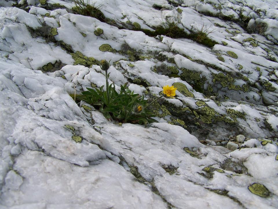 Alpine White Rock, Lichen, Alpine Flowers