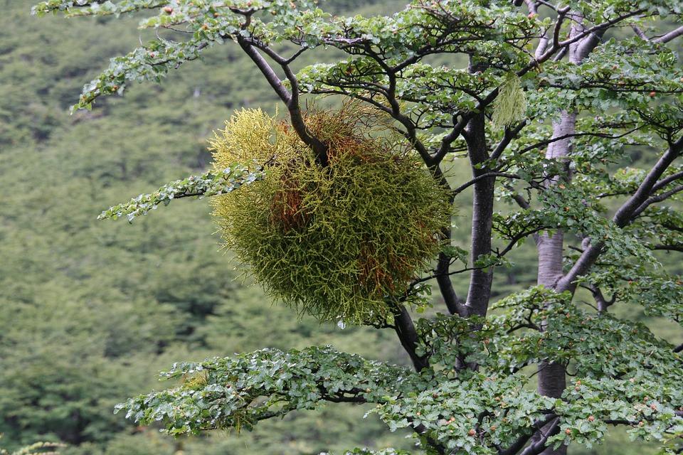 Mistletoe, Lichen, Australia