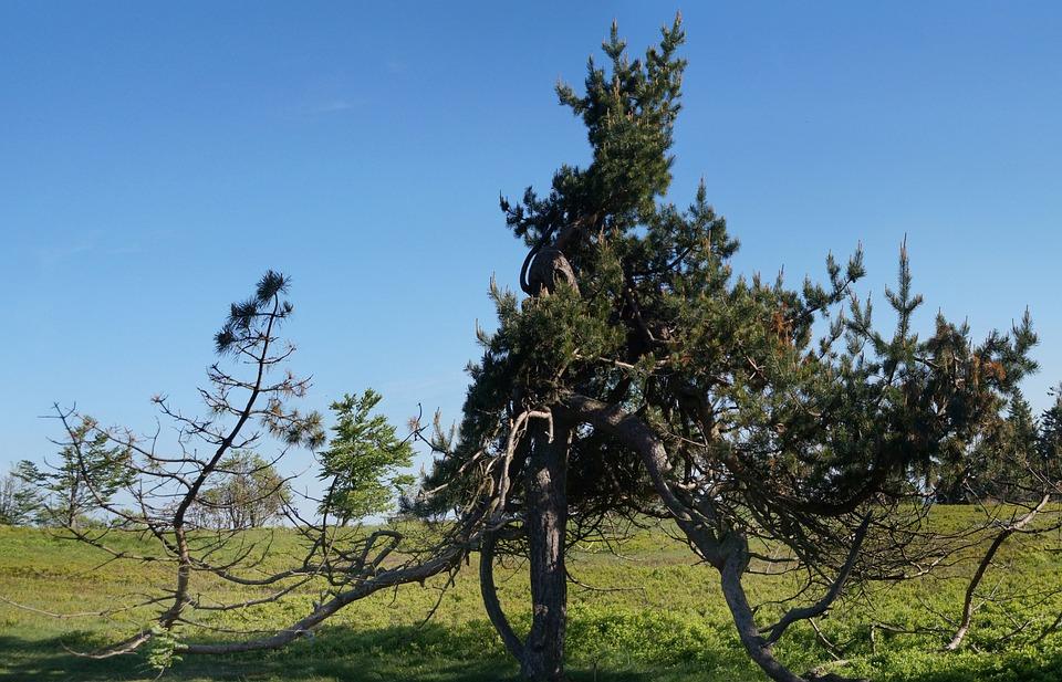 Lichen, Highlands, Winterberg, Cripple Spruce, Hocheide