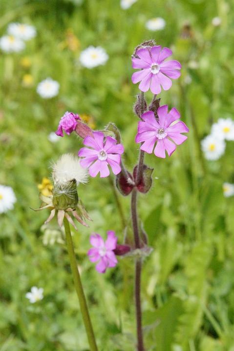 Lichtnelken, Meadow, Colorful, Nature, Wild Flowers