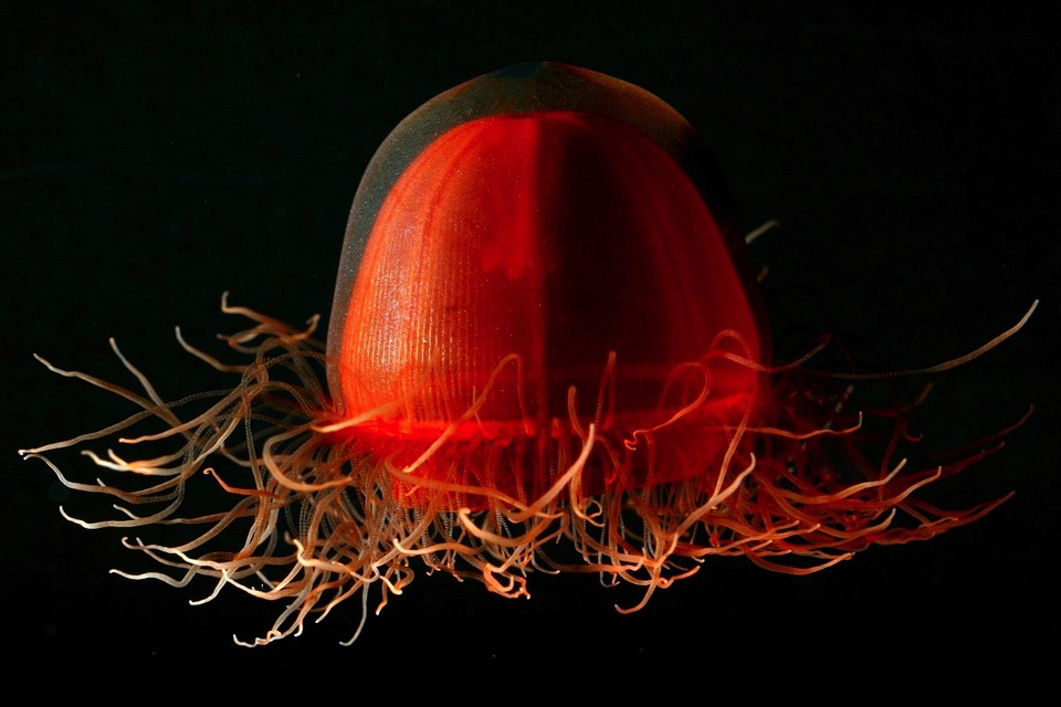 Jellyfish, Life, Red, Unique, Beautiful, Close-up