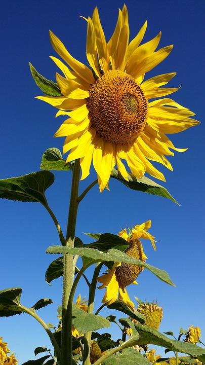 Sunflower, Flower, Yellow, Field, Nature, Life, Sky