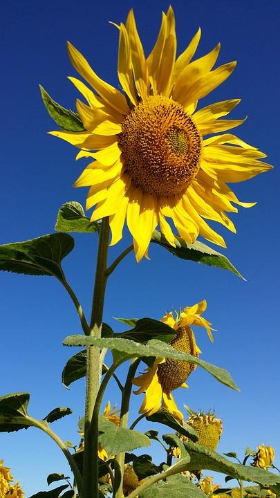 Sunflower, Flower, Yellow, Field, Nature, Life, Sky