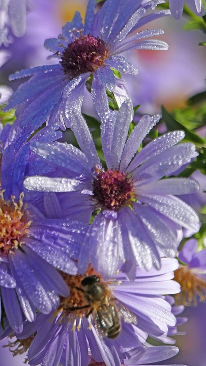 Nature, Garden, Flowers, Aster, Dew, Dewdrop, Light
