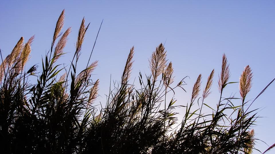 Reeds, Sky, Light, Autumn