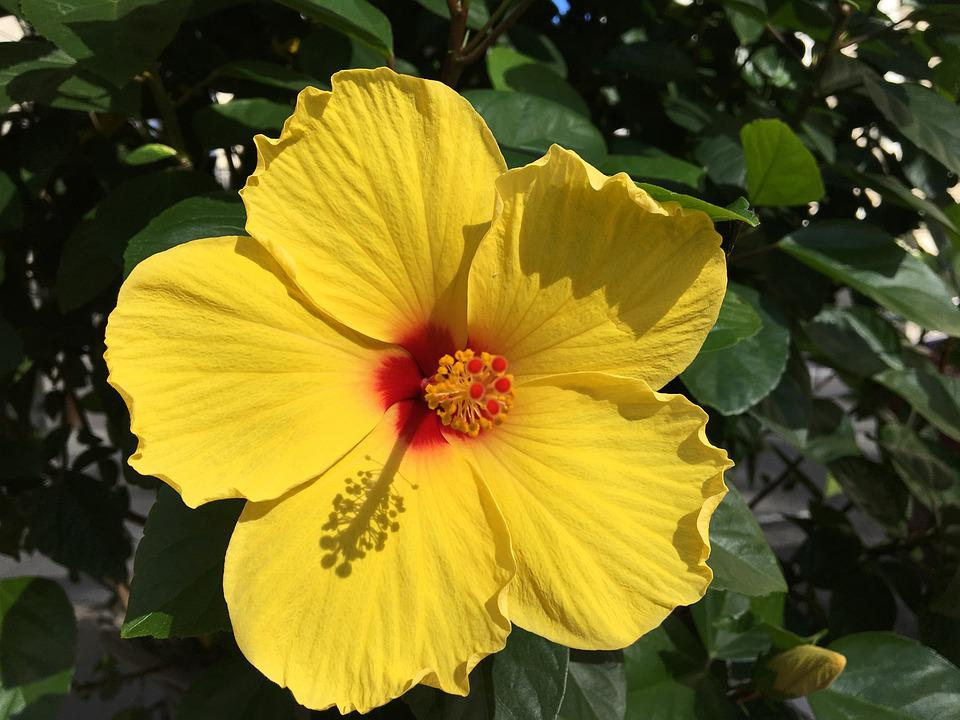 Hibiscus, Yellow, Flower, Blossom, Bloom, Light, Bright