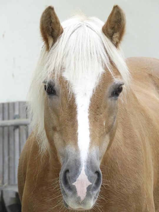 Horse, Nostrils, Mare, Gaul, Animals, Light Brown