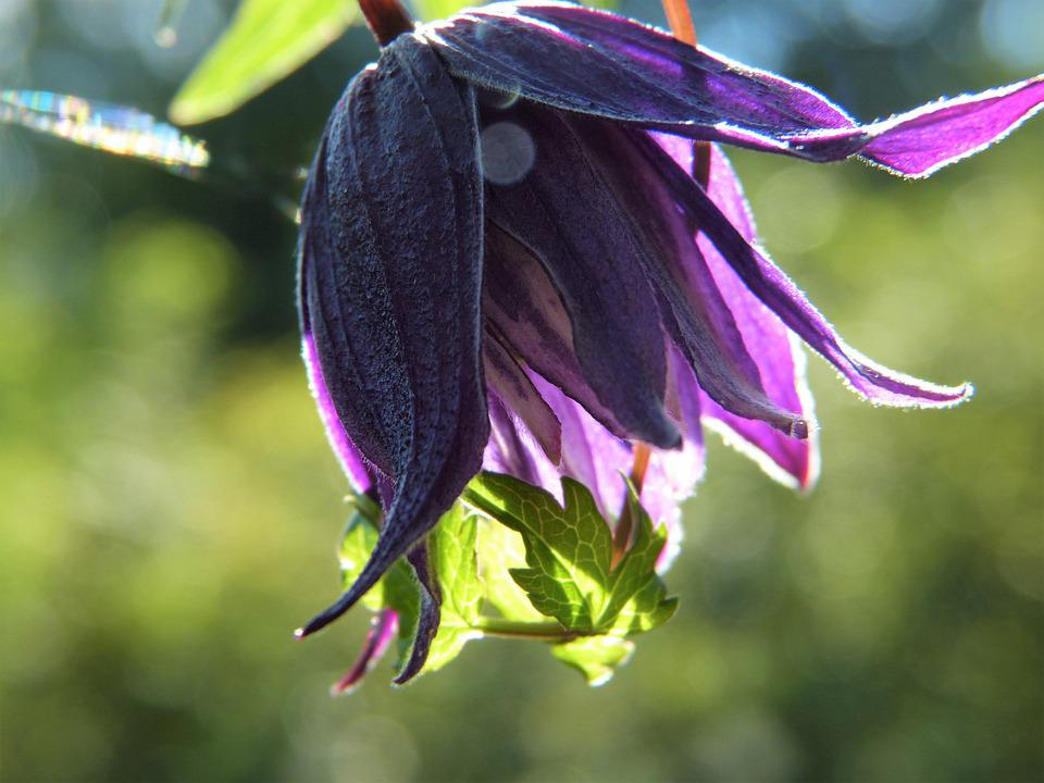 Clematis, Purple, Blossom, Bloom, Close Up, Light