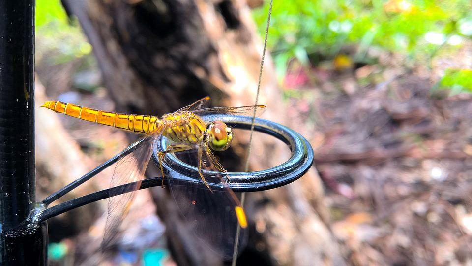 Dragonfly, Creature, Natural, Insects, Light, Vietnam