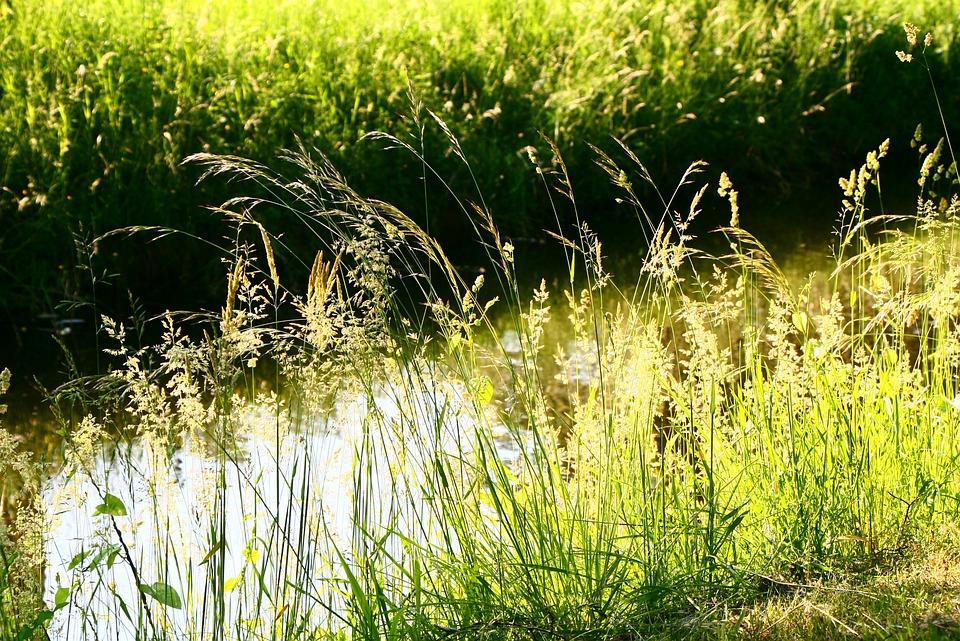 Grass, Light, Spikelets, Green