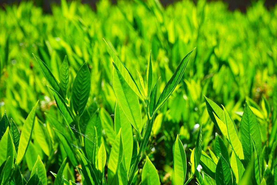 Bay Leaves, Leaves, Green, Back Light, Light Green