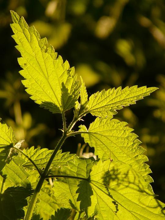 Stinging Nettle, Green, Plant, Light, Illuminate, Sun