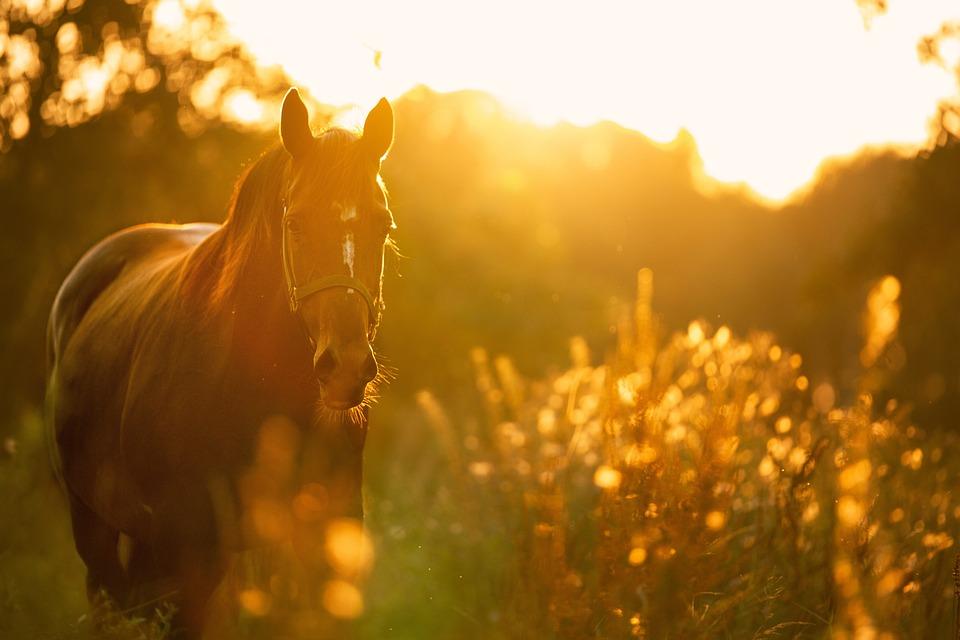 Horse, Light, Sunset, Meadow, Horse Portrait