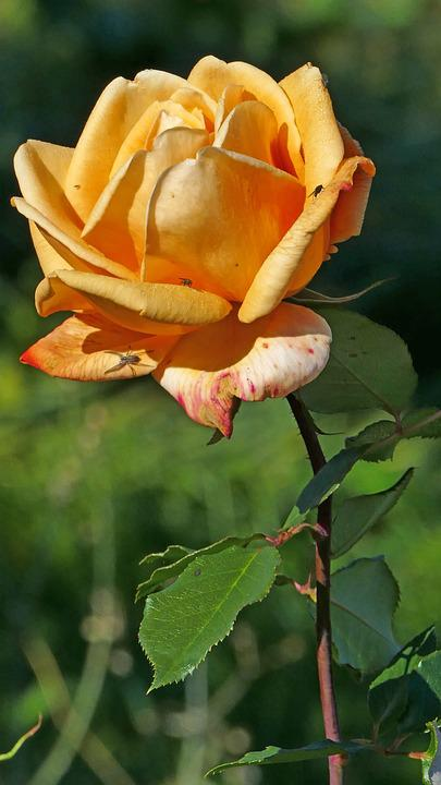 Nature, Garden, Flower, Rose, Yellow Orange, Light, Sun