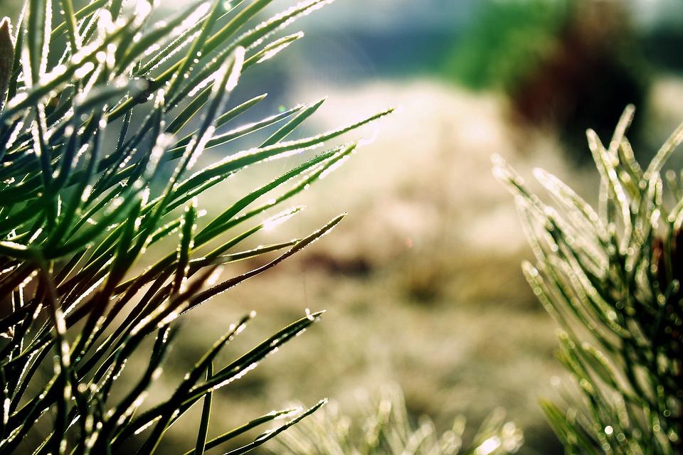Frost, Needle, Needles, Pine, Light, Reflection, Frozen