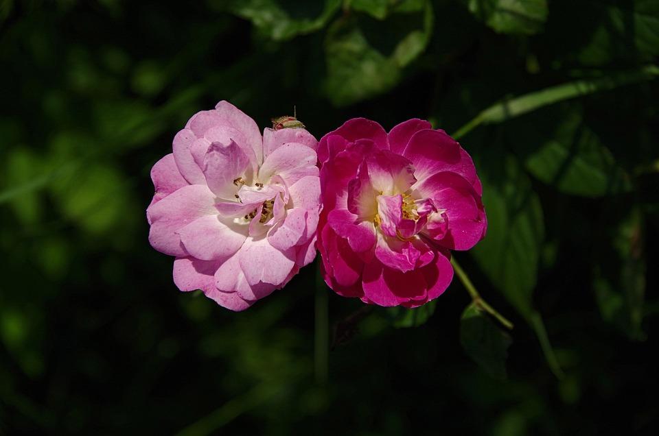 Roses, Light Pink, Dark Pink, Pair, Rose Bloom, Plant