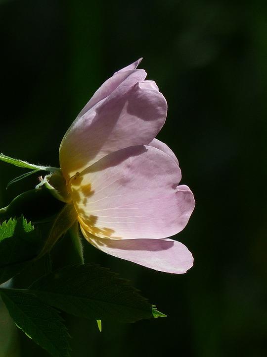 Dog Rose, Rose Bloom, Pink, Light Pink, Translucent