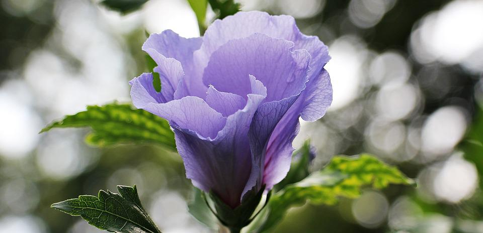 Mallow, Flower, Blossom, Bloom, Sky, Blue, Light Purple