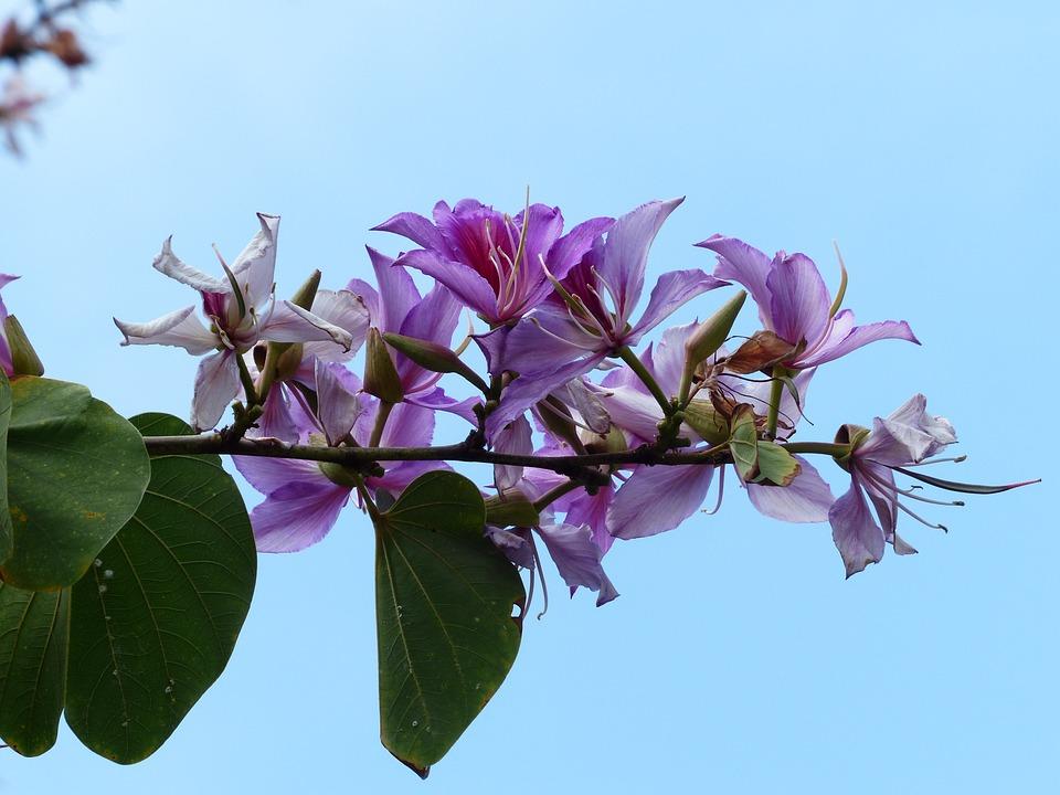 Free Photo Light Purple Tree Violet Pink Bauhinie Flowers Max Pixel