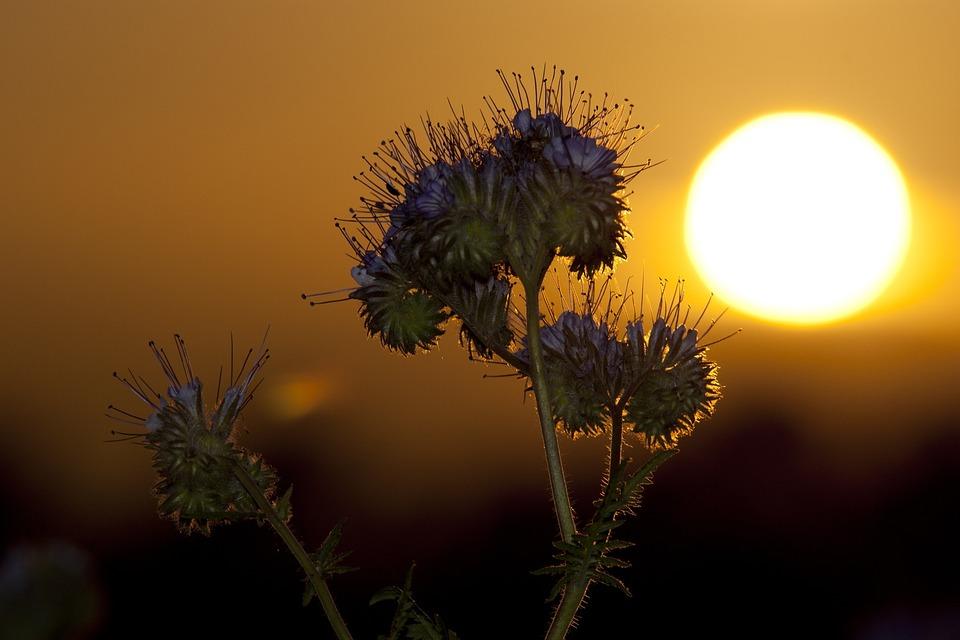 Sunset Phacelia Abendstimmung Field Bees Lighting & Free photo Lighting Bees Phacelia Field Sunset Abendstimmung - Max Pixel