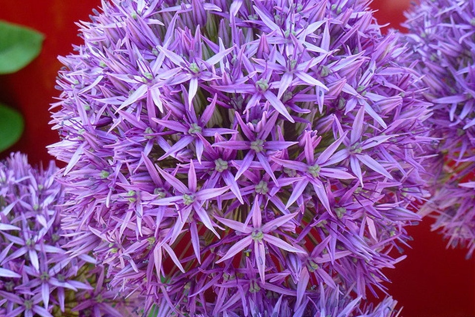 Free Photo Lila Purple Garten Blume Flower Natur Close Up Max Pixel