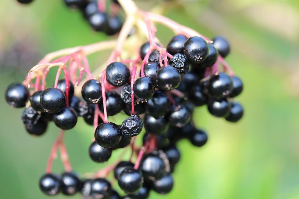 Lilac Berries, Elder, Fruits, Black Elderberry, Bush