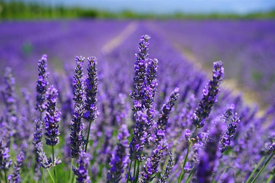 Lavender Blossom, Lilac Blue, Lavender Field, Flowers