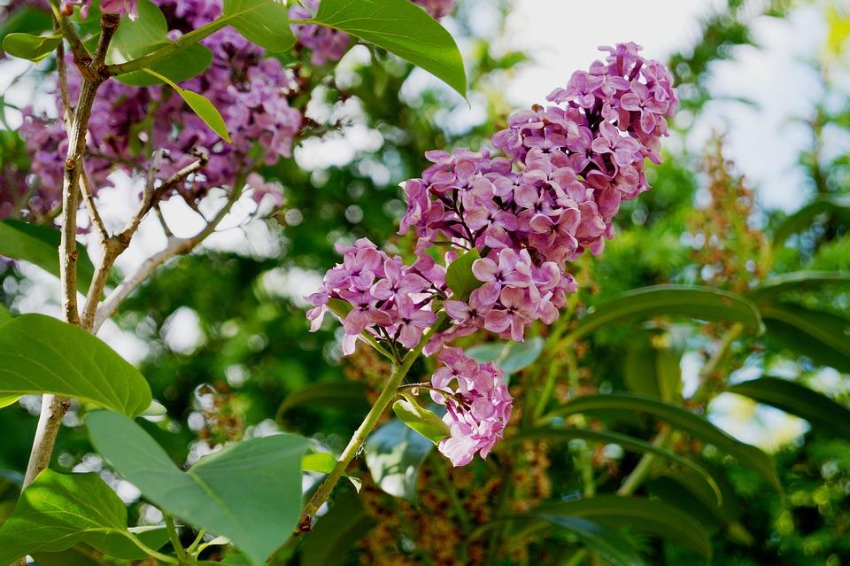 Lilac, Garden, Lilac Branches