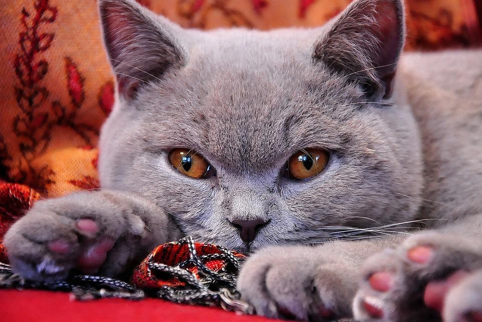 British Shorthair, Cat, Young, Grey Fur, Lilac, Grey