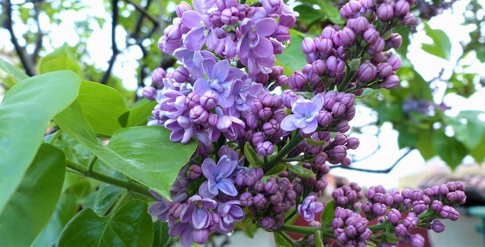 Flower, Plant, Nature, Garden, Leaf, Lilac, Foliage