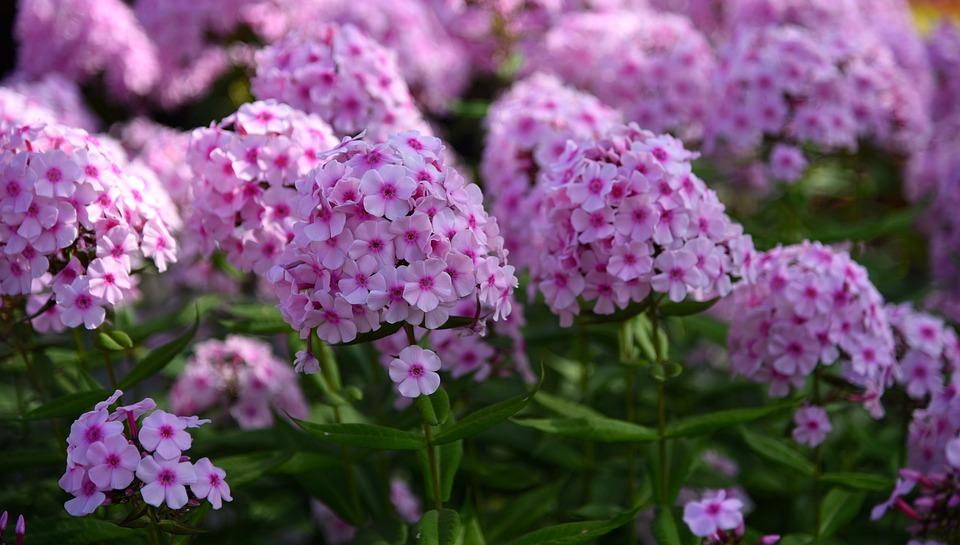 Flowers, Lilac, Bloom, Purple Flowers, Closeup