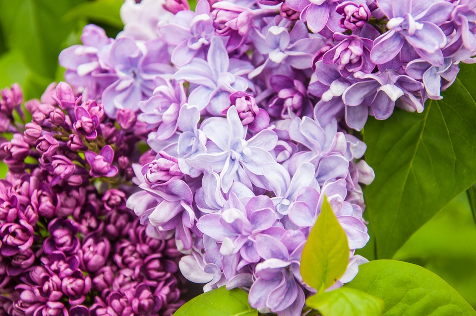 Lilac, Flowers, Nature, Spring, Purple, Branch