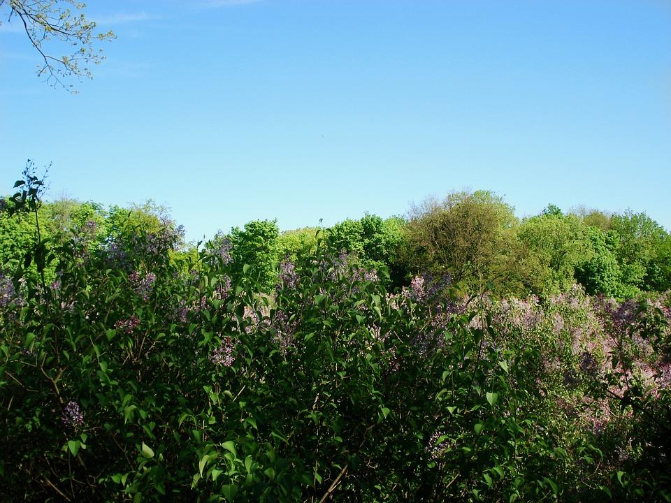 Landscape, Nature, Bloom, Spring, Lilac, Lilac Bloom
