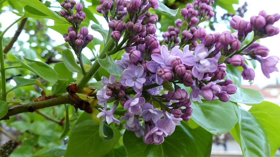 Flower, Nature, Plant, Leaf, Garden, Lilac, Fulfillment