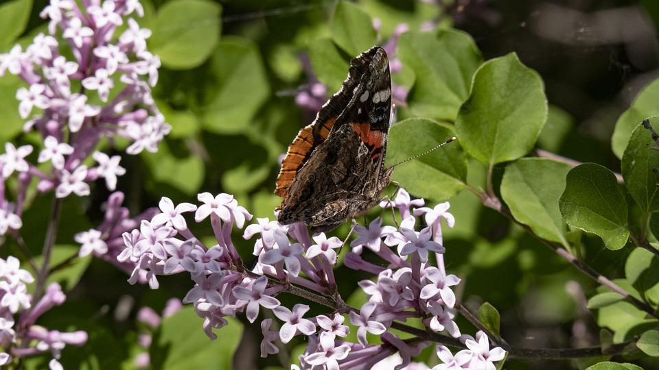 Moth, Butterfly, Garden, Nature, Insect, Wings, Lilac